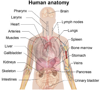 Human Anatomy from Ayurvedic Perspective