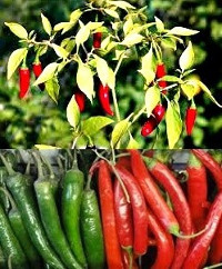Red Chilly Plant – Chillies-Capsicum