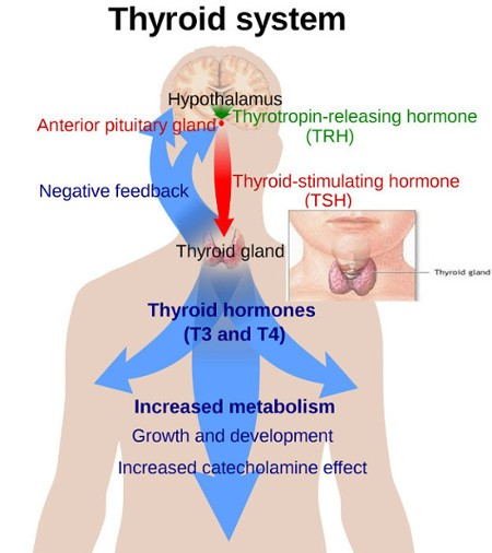 Complete Thyroid System - Meaning of Thyroid