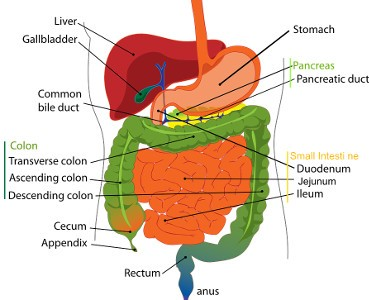 Digestive System - Remedies to Liver Ailments – Ascites-Liver Enlargement-Psoriasis-Cirrhosis-Hepatitis B