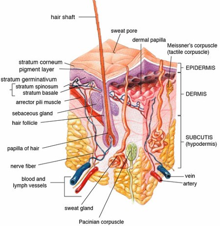 Detailed Anatomy of Human Skin